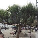 Eleagnus angustifolia-arbre adult