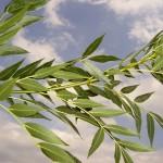 Fraxinus angustifolia-creixement