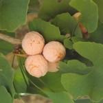 Ginkgo biloba- fruit arbre femení