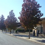 Liquidambar styraciflua-arbre carrer tardor