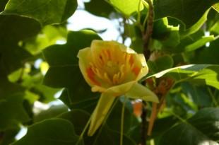 Liriodendron tulipifera-Flor