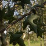 Malus Tribolata-fulla
