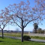 Melia azederach-arbre hivern