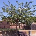 Morus alba-arbre primavera