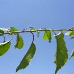 Prunus avium-creixement