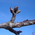 Prunus avium-estadi B
