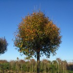 Prunus fructicosa Globosa-arbre tardor