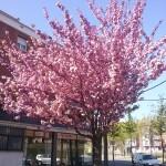 Prunus serrulata Kanzan-arbre florit
