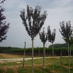 Prunus serrulata Royal Burgundy-arbre estiu