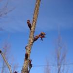 Prunus subhirtella Autumnalis-arbre tardor