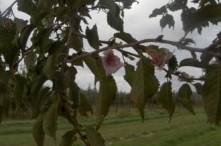Prunus subhirtella Autumnalis-flor