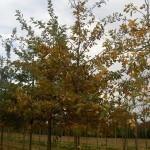 Quercus robur-coloració