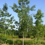 Quercus rubra-arbre estiu