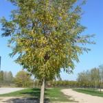 Robinia pseudiacacia Frisia-arbre carrer