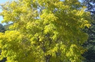 Robinia pseudiacacia Frisia-arbre tardor