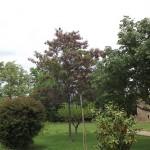 Robiniaxmargaretta Casque Rouge-arbre adult