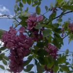 Robiniaxmargaretta Casque Rouge-flor