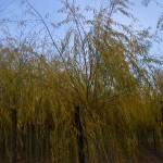 Salix alba Vitellina Pendula-arbre tardor