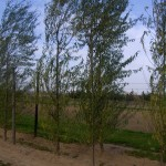 Salix matsudana Tortuosa-arbre tardor