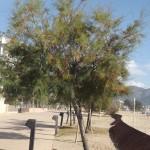 Tamarix pentandra-arbre adult tardor