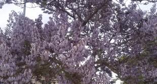 Paulownia tomentosa-arbre florit