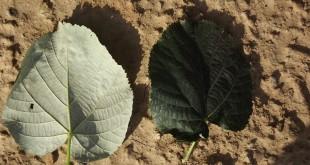 Tilia tomentosa-fulles