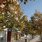 Tilia x euchlora-arbre tardor