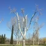 coronat-Populus Alba
