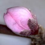 Prunus-persicae-estadi-D1