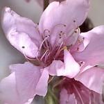 Prunus-persicae-estadi-F