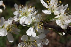 flor del pruner