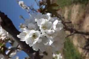 flor de cirerer