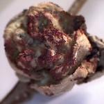 Corylus avellana - badoc