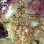 Corylus avellana -eriofids -