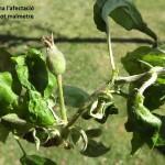 Pugó gris poma