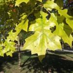 Fulla Quercus palurdis cloròtica